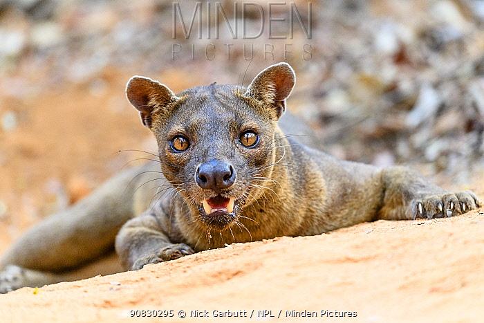 Fosa / Fossa (Cryptoprocta ferox) male resting in dry decidous forest. Kirindy, western Madagascar. Endangered.