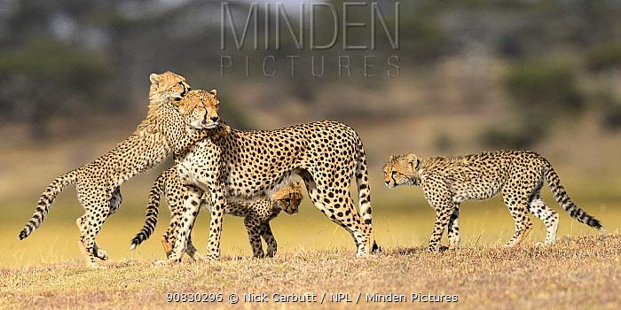 Cheetah (Acinonyx jubatus) female playing with three cubs (age 5 months) Ndutu area, Serengeti / Ngorongoro Conservation Area (NCA), Tanzania.