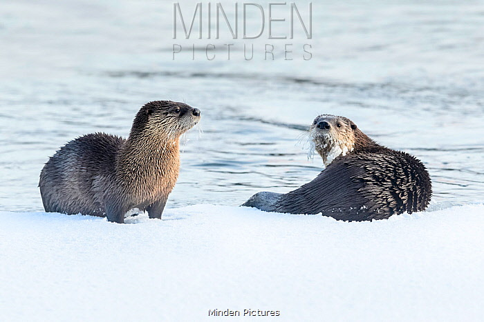 North American river otters (Lutra canadiensis) on the frozen river edge. Upper Yellowstone River, Hayden Valley, Yellowstone, USA. January
