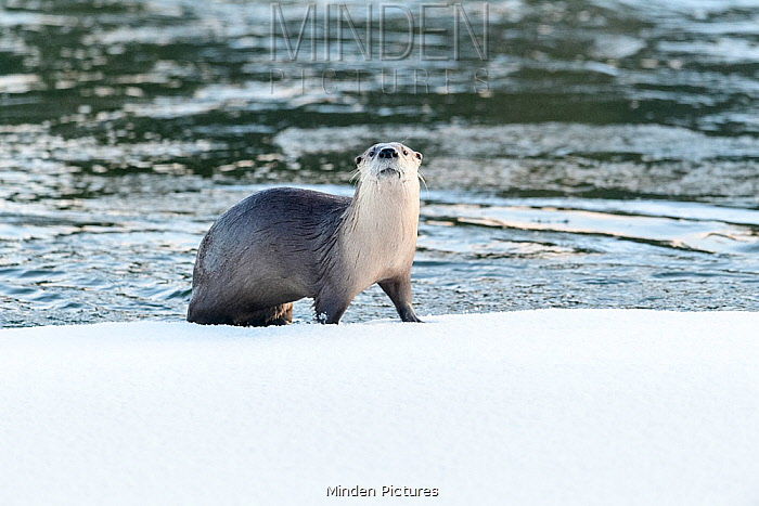 North American river otter (Lutra canadiensis) on the frozen river edge. Upper Yellowstone River, Hayden Valley, Yellowstone, USA. January