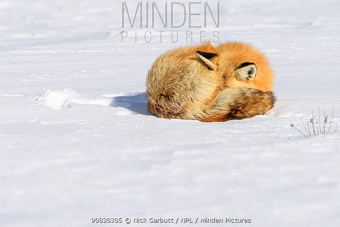 Red fox (Vulpes vulpes) sleeping on snow. Hayden Valley, Yellowstone, USA. January