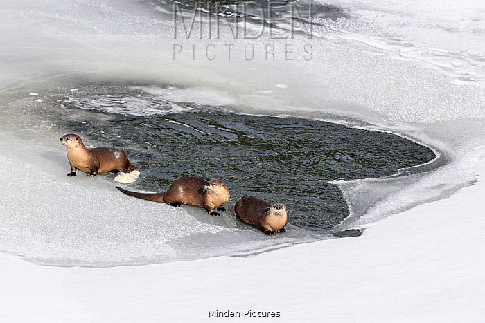 North American river otters (Lutra canadiensis) probaly female with two juveniles, on the frozen river edge. Upper Yellowstone River, Hayden Valley, Yellowstone, USA. January