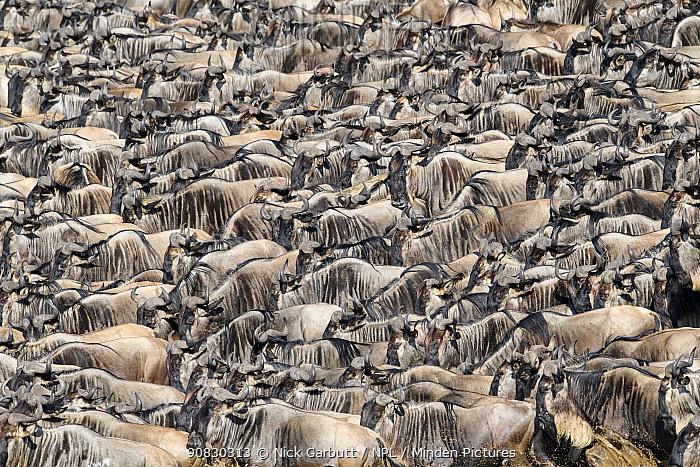 Herds of White-bearded wildebeest (Connochaetes taurinus albojubatus) waiting to cross the Mara River. Northern Serengeti, Serengeti National Park, Tanzania.