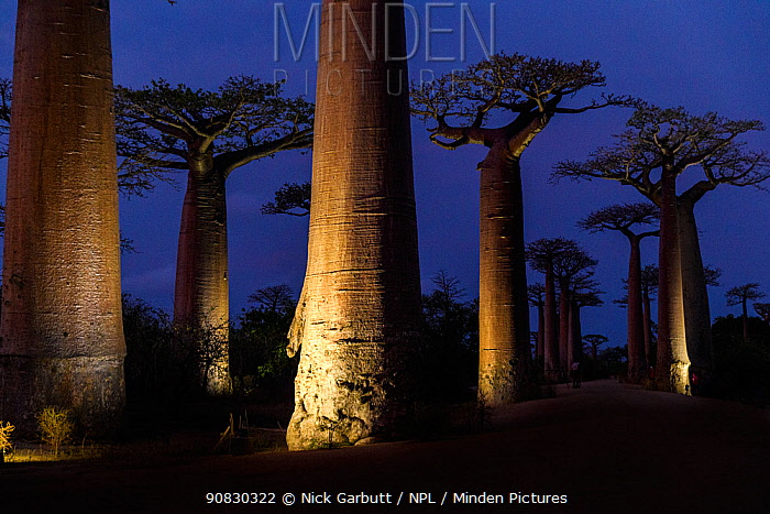 Grandidier's baobabs (Adansonia grandidieri) - the famous Alle de Baobab lit up at night with floodlights (UNESCO World Heritage Site), near Morondava, western Madagascar.