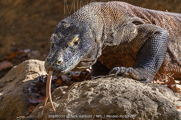 Komodo dragon (Varanus komodoensis) male tasting the air, Rinca Island, Komodo National Park, Indonesia. Endangered.
