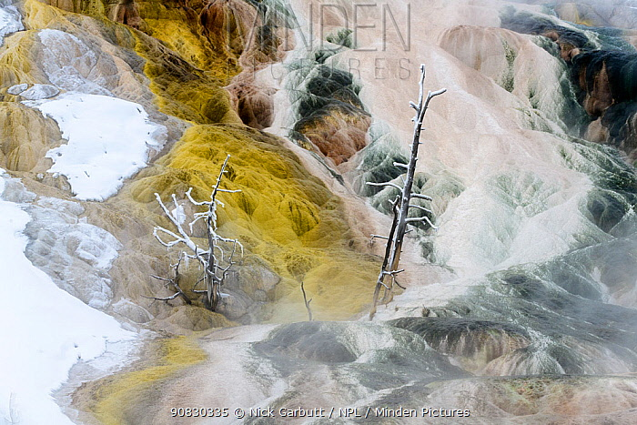Petrified trees and travetine cascade. Geothermal feature at Mammoth Hot Springs. Yellowstone National Park, USA.