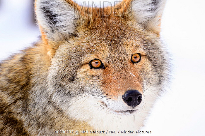 RF - Portrait of Coyote (Canis latrans) Yellowstone National Park, Wyoming. January. (This image may be licensed either as rights managed or royalty free.)