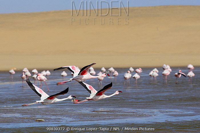 Greater flamingos (Phoenicopterus ruber) in the Walvis Bay Lagoon, one of the most important wetlands for birds along the southern African coast, Namib desert, Namibia. Since 1995 it has been a proclaimed Ramsar site.