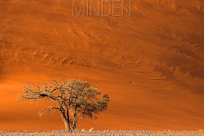 Camel thorn tree (Vachellia erioloba) growing in the rocky plains at the base of giant red dunes while winds blow the dune's sand creating patterns, Sossusvlei, Namibia