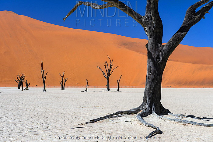 Dead Camel thorn trees (Vachellia erioloba) in the long-time dry riverbed of Deadvlei, an iconic view of Namib desert, Namibia