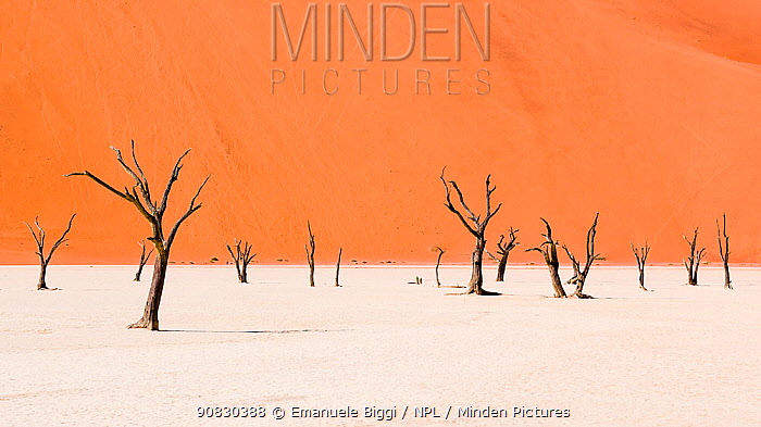Dead Camel thorn trees (Vachellia erioloba) in the long-tern dry riverbed of Deadvlei, an iconic view of Namib desert, Namibia