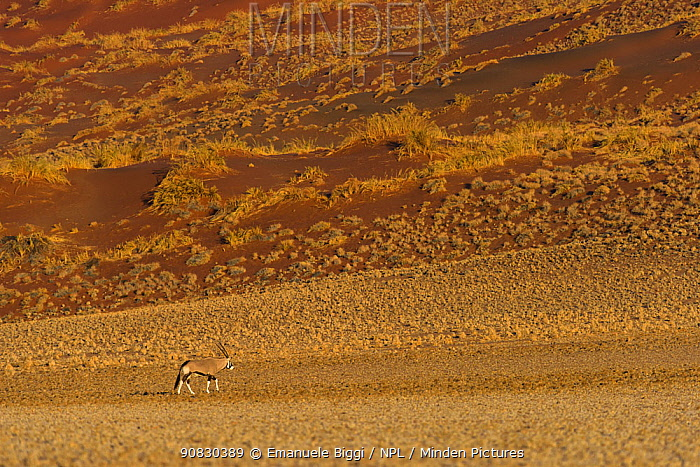Gemsbok (Oryx gazella) in the plains beneath red dunes of Sossusvlei, Namibia