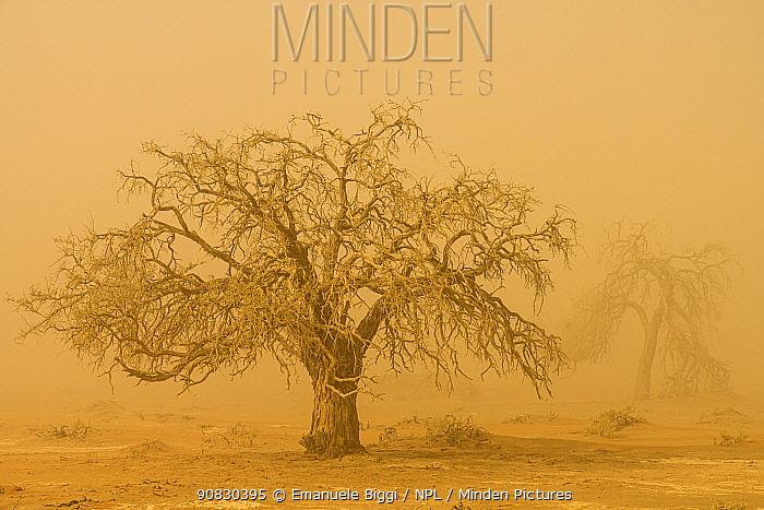 Camel thorn tree (Vachellia erioloba) in sand storm, Sossusvlei, Namibia