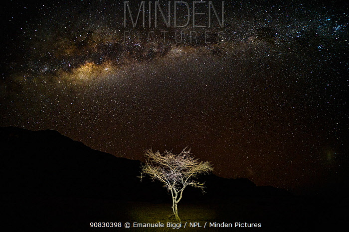 A young thorny Acacia tree (Vachellia sp.) growing in rocky desert around Sossusvlei, at night with Milky Way, Namibia