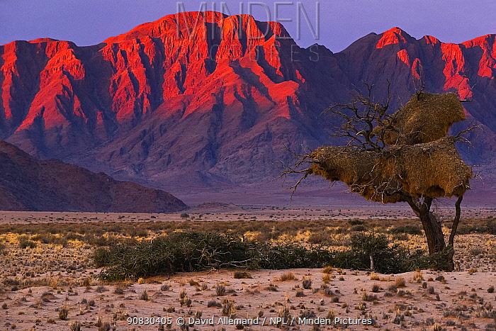 Sociable weaver (Philetairus socius) nest in tree, Sossusvlei, Namib Naukluft Park, Namib Desert, Namibia