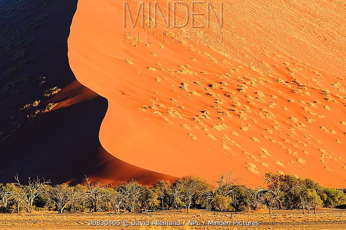 Trees at base of giant sand dune, Sossusvlei, Namib Naukluft Park, Namib Desert, Namibia