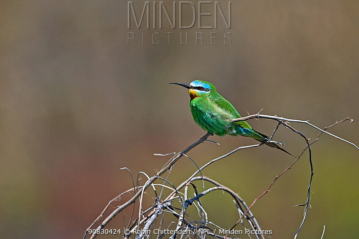 Blue-cheeked bee-eater (Merops persicus) perched, Mandria, Cyprus, April