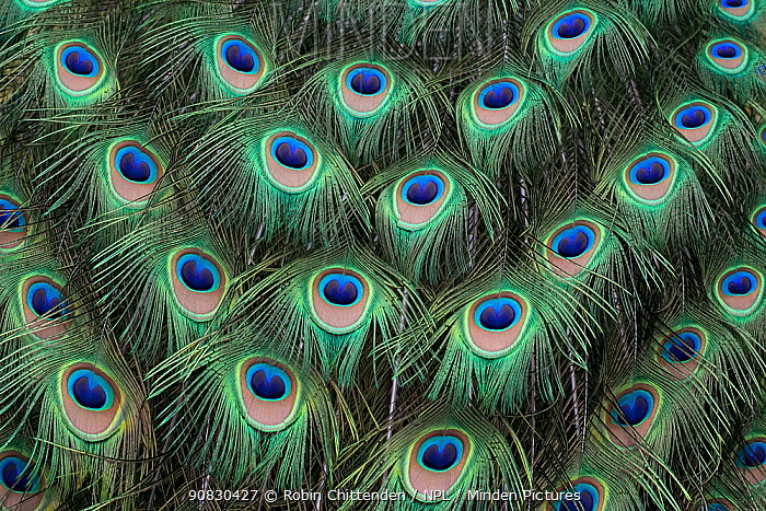 Indian peafowl (Pavo cristata) tail feathers, Dorset, England, UK, May.