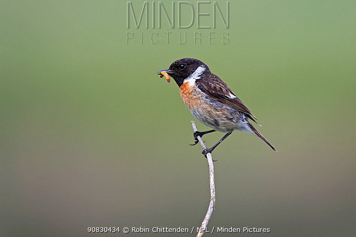 Stonechat (Saxicola torquata) perched, Suffolk, England, UK, June.