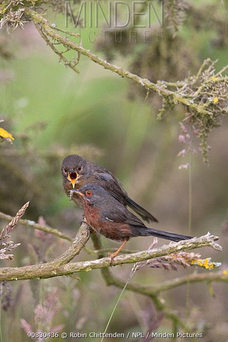Dartford warbler (Sylvia undata) perched, Suffolk , England, UK. June.