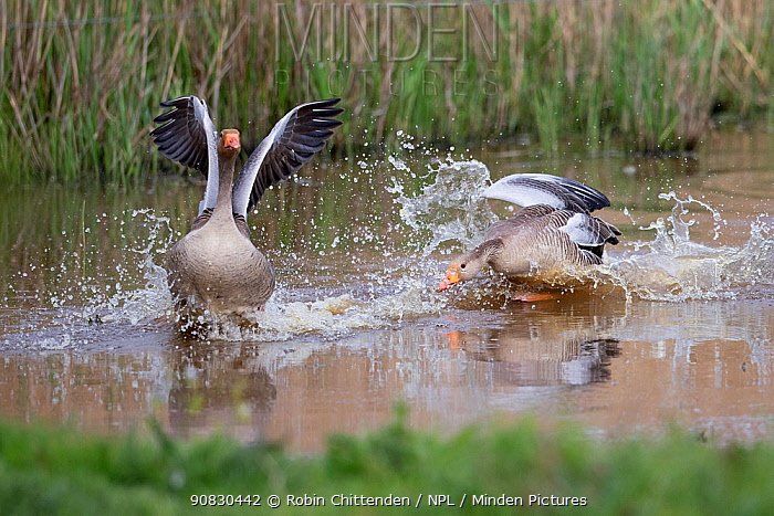 Greylag goose (Anser anser) chasing another, Norfolk, England, UK, April.
