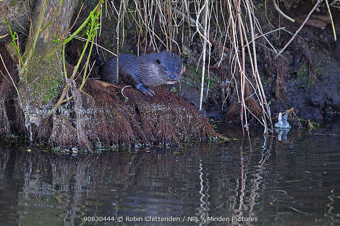 Common otter (Lutra lutra) Norfolk, England, UK, April.