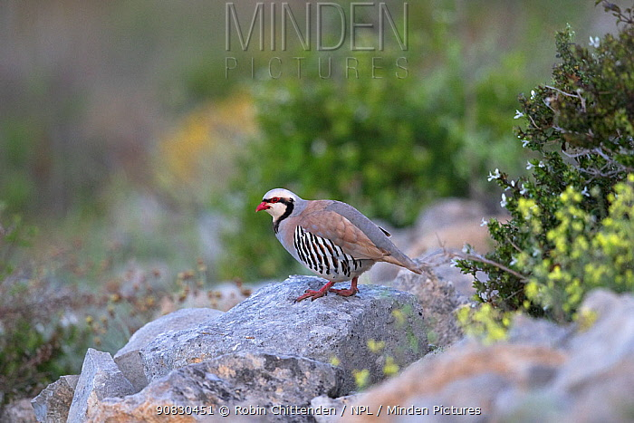 Chukar partridge (Alectoris chukar) Cyprus, April