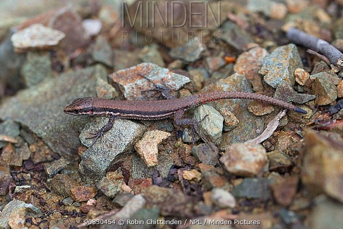 Troodos lizard (Lacerta troodica) on ground, Cyprus, April.