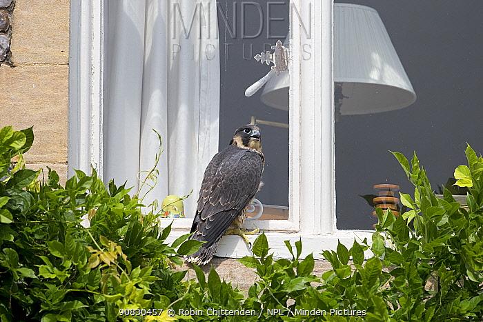 Peregrine (Falco peregrinus) sitting on windowsill of house, Norwich, England, UK, June.