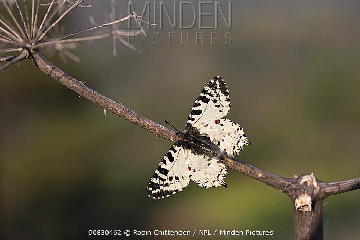 Eastern festoon butterfly (Zerynthia cerisy) Cyprus, April