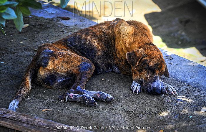 Stray dog in Grenada, Eastern Caribbean.