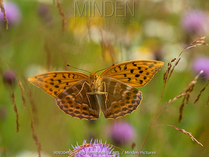 Silver-washed fritillary butterfly (Argynnis paphia) Akershus, Norway, July.