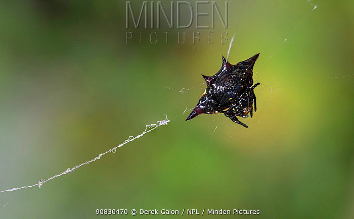 Spiny orb weaver (Gasteracantha) Dominica, West Indies. December.
