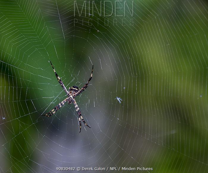 Orb weaver spider (Argiope argentata) female. Dominica, West Indies, Caribbean. October.