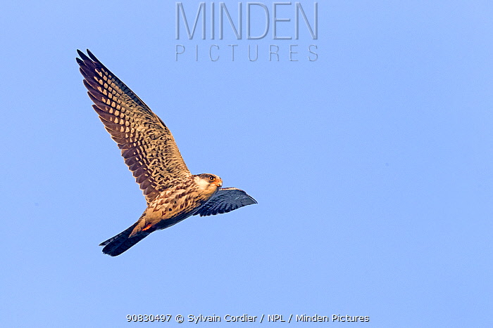 Amur falcons (Falco amurensis) female in flight during migration, Nagaland, India. October.