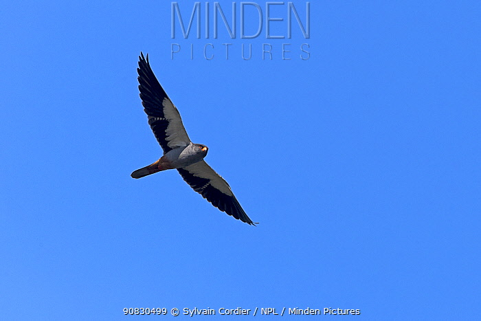 Amur falcons (Falco amurensis) male in flight during migration, Nagaland, India. October.