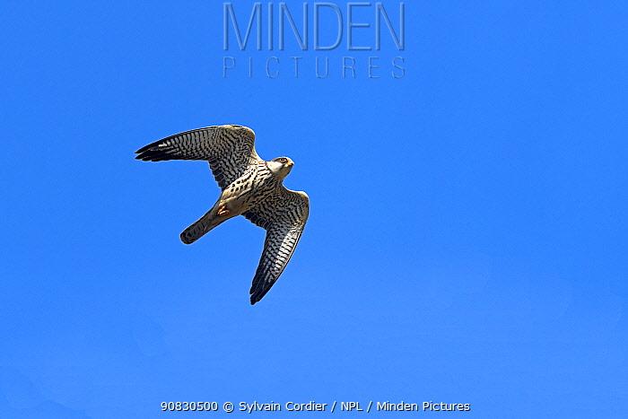 Amur falcon (Falco amurensis) female in flight, during migration, Nagaland, India. October.