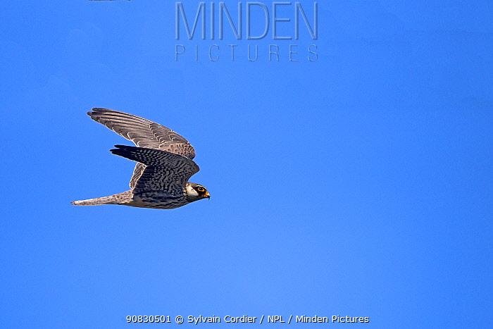 Amur falcon (Falco amurensis) female in flight during migration, Nagaland, India. October.