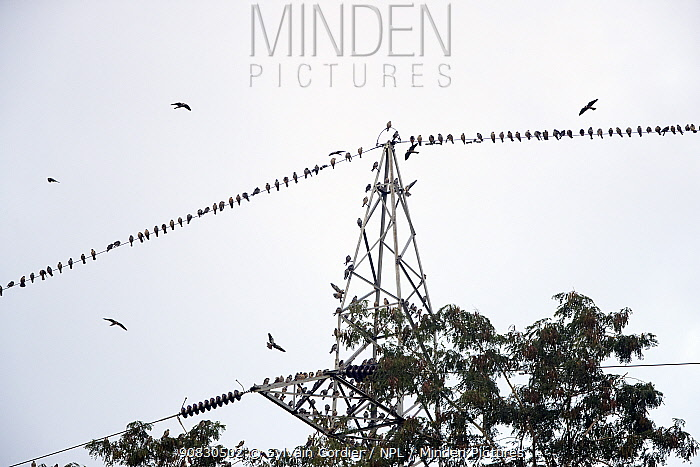 Amur falcons (Falco amurensis) perched on electrical wire during migration, Nagaland, India. October.