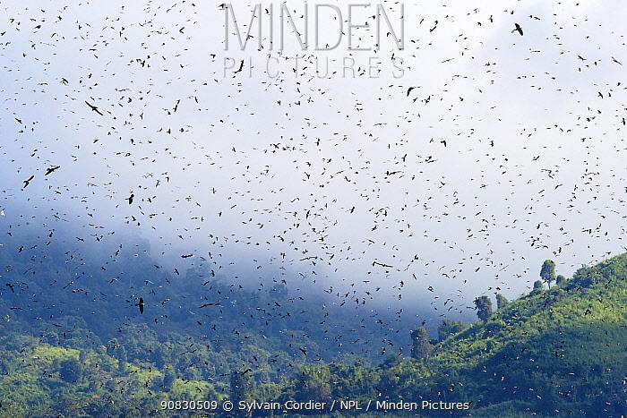 Amur falcon (Falco amurensis) large flock during migration. Nagaland, India. October.
