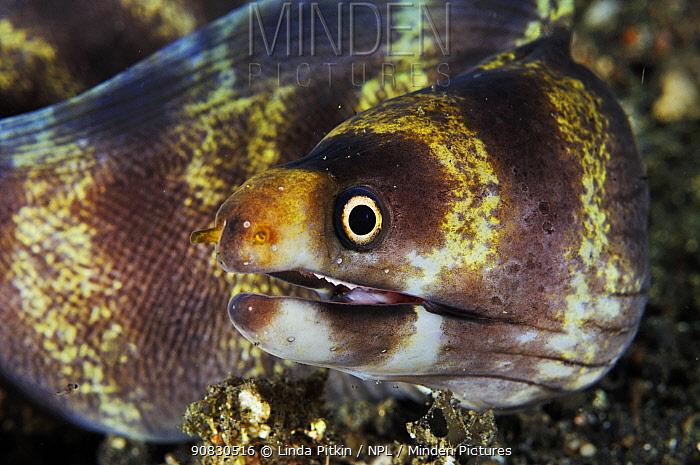 Barred Moray (Echidna polyzona)  Indonesia: Sulawesi: Lembeh Strait, off Lembeh Island, 'Aer Prang', night dive, December