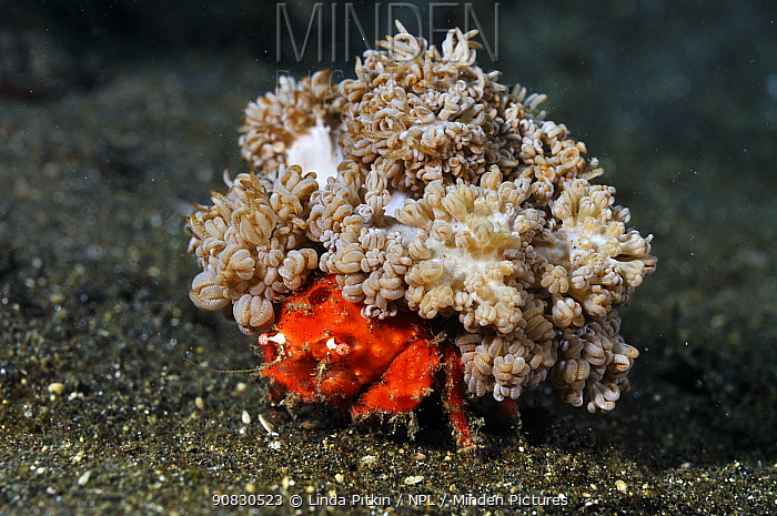 Redspot sponge crab (Lewindromia unidentata), carrying attached soft coral (Xenia sp.) 