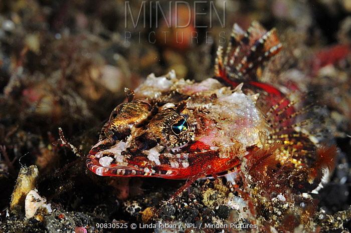 Spiny, Midget / Devil flathead (Onigocia spinosa)  Lembeh Strait, off Lembeh Island, 'Aer Prang', Lembeh Strait, North Sulawesi, Indonesia.