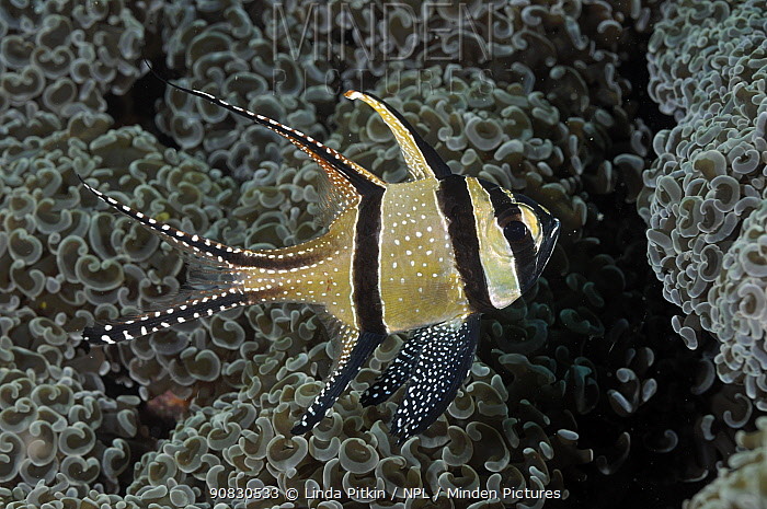 Banggai Cardinalfish (Pterapogon kauderni), sheltering against Anchor Coral (Euphyllia ancora) Lembeh Strait, North Sulawesi, Indonesia.