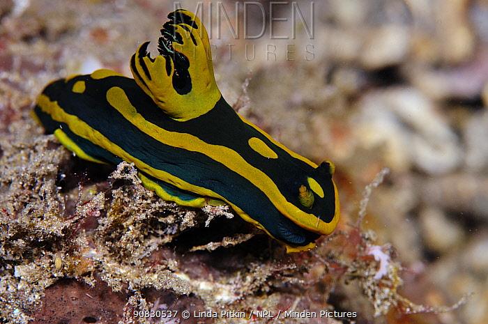 Nudibranch (Tambja gabriela)  Lembeh Strait, North Sulawesi, Indonesia.