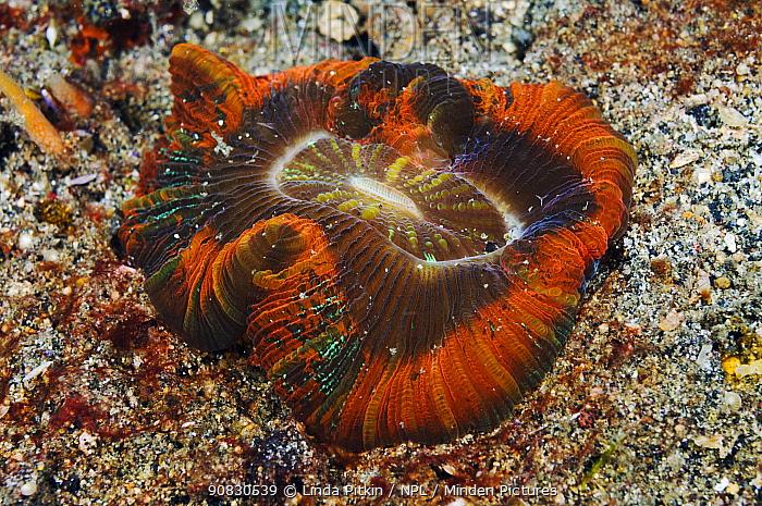 Open Brain Coral (Trachyphyllia geoffroyi) Lembeh Strait, North Sulawesi, Indonesia.