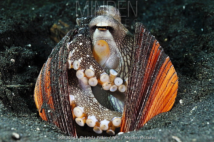 Veined Octopus, Coconut Octopus (Amphioctopus marginatus, formerly Octopus marginatus), inhabiting discarded bivalve mollusc shells, which it collects and pulls around itself - defense, shelter, intelligent tool-using invertebrate. Lembeh Strait, North Sulawesi, Indonesia.