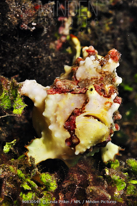 Warty or Clown frogfish (Antennarius maculatus)  Lembeh Strait, North Sulawesi, Indonesia.