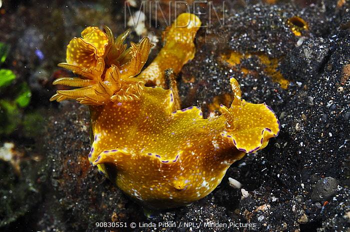Nudibranch (Ceratosoma tenue)  Lembeh Strait, North Sulawesi, Indonesia.