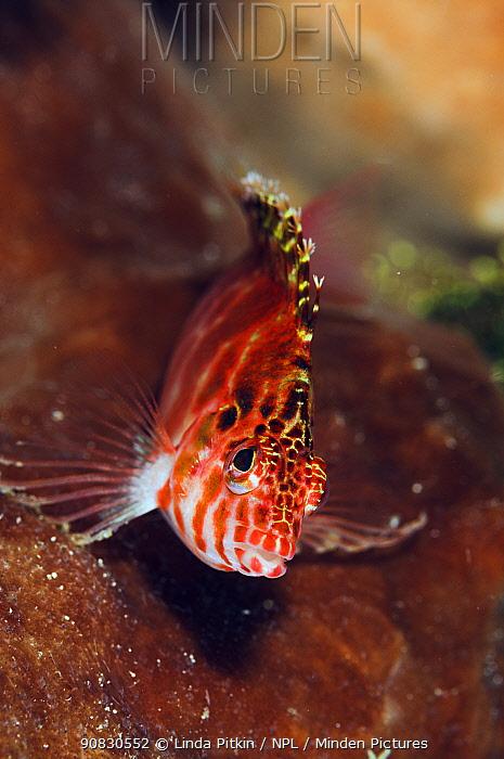 Pixy Hawkfish (Cirrhitichthys oxycephalus)  Lembeh Strait, North Sulawesi, Indonesia.